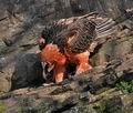 Gypaetus_barbatus_bp9647