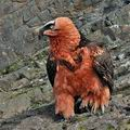 Gypaetus_barbatus_bp9687