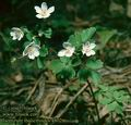 Isopyrum_thalictroides_4802