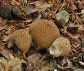 Lycoperdon_nigrescens_bp2279