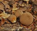 Lycoperdon_nigrescens_bp2280