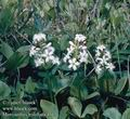 Menyanthes_trifoliata_4113