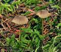 Mycena_aurantiomarginata_bp4591
