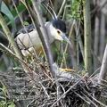Nycticorax_nycticorax_fc2094