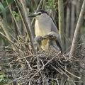 Nycticorax_nycticorax_fc2139