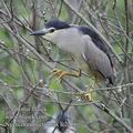 Nycticorax_nycticorax_fc2216