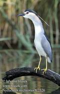 Nycticorax_nycticorax_fc2526