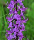 Orchis_mascula_br8414