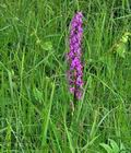 Orchis_mascula_br8422