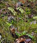 Orthilia_secunda_bt9727