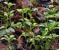 Orthilia_secunda_bt9799