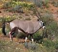 Oryx_gazella_bb1209