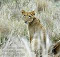 Panthera_leo_db6400