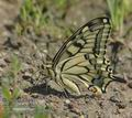 Papilio_machaon_ab9226