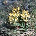 Pedicularis_oederi_9084