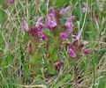 Pedicularis_sylvatica_bc2641