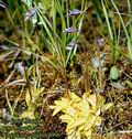 Pinguicula_vulgaris_4906