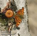 Polygonia_c-album_aa4320