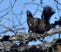 Sciurus_vulgaris_mc0778