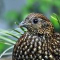 Tragopan_temminckii_be1538