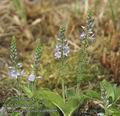 Veronica_officinalis_ab6609