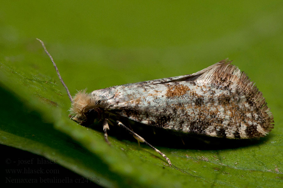 Nemaxera betulinella Golden-speckled Clothes Moth