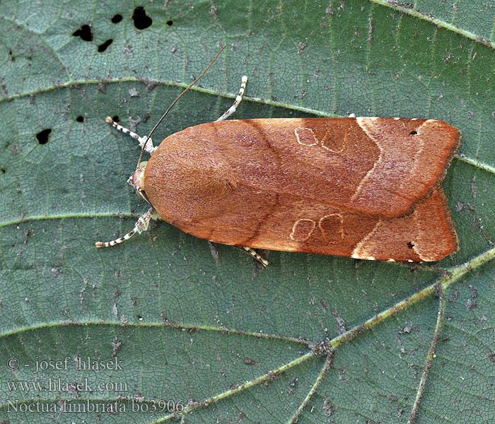 Noctua fimbriata Broad-bordered Yellow Underwing