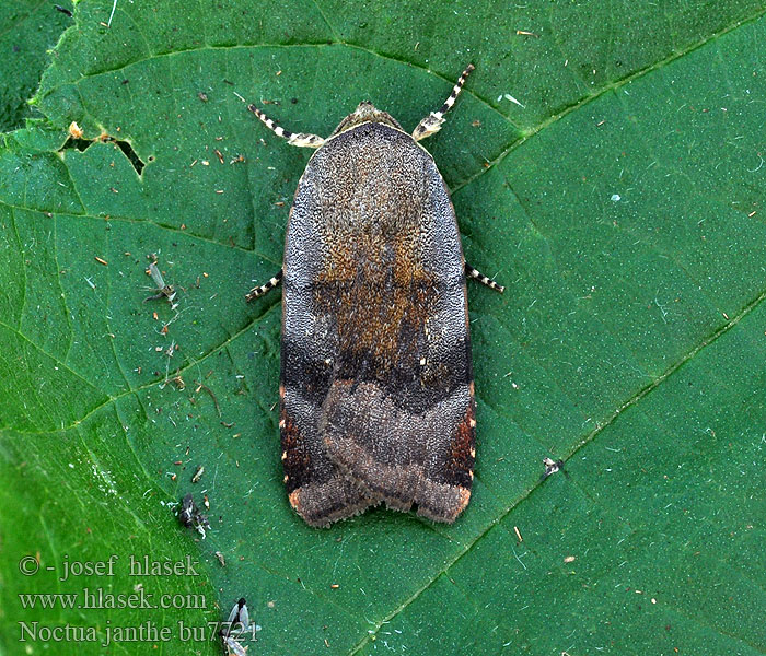 Lesser Broad-bordered Yellow Underwing Noctua janthe