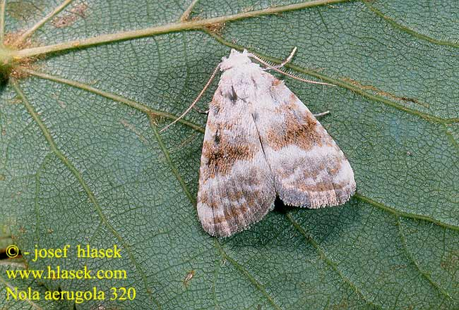 Scarce Black Arches Nola aerugula