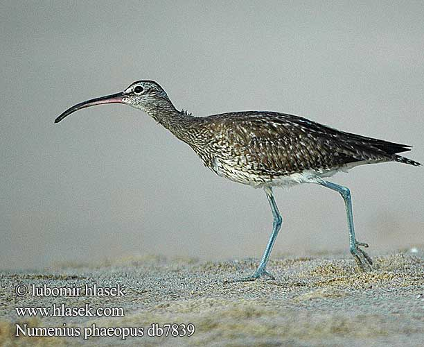 Numenius phaeopus db7839
