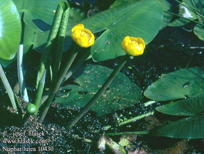 Nuphar lutea luteum Yellow Water-lily Pond-lily Ulpukka Nénuphar jaune