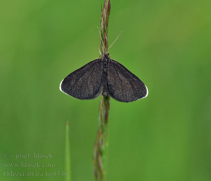 Odezia atrata Chimney Sweeper