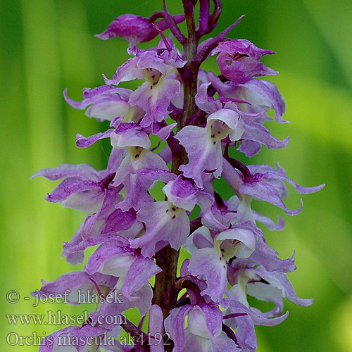 Orchis mascula Early-purple Orchid Early Purple Salabmisri