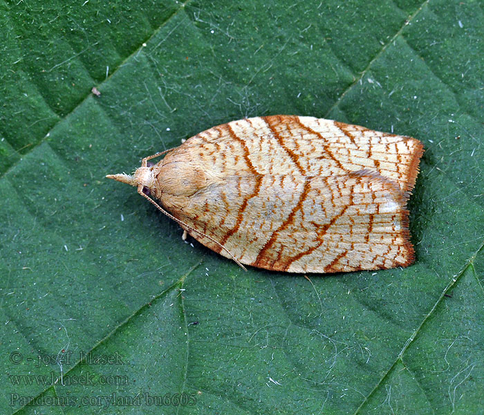 Chequered Fruit-tree Tortrix Pandemis corylana