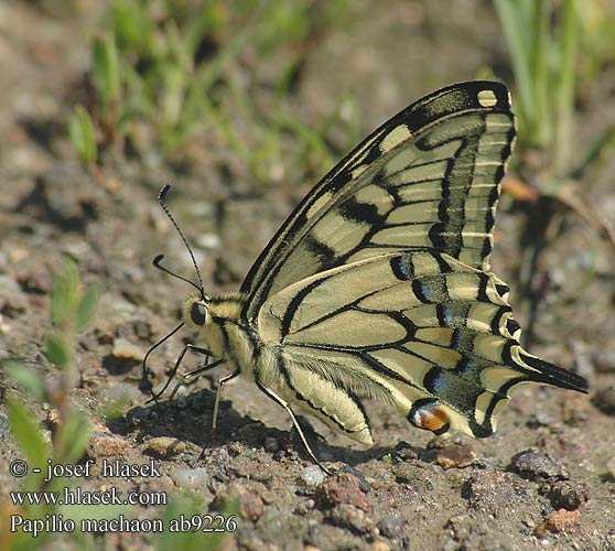 Papilio machaon キアゲハ 산호랑나비 Machaonas Махаон Swellesturtflinter