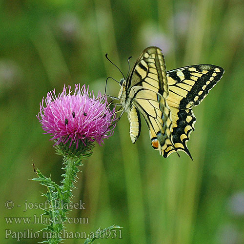 Papilio machaon 金凤蝶 Pääsusaba זנב סנונית נאה Macaone Čemuržiežu dižtauriņš