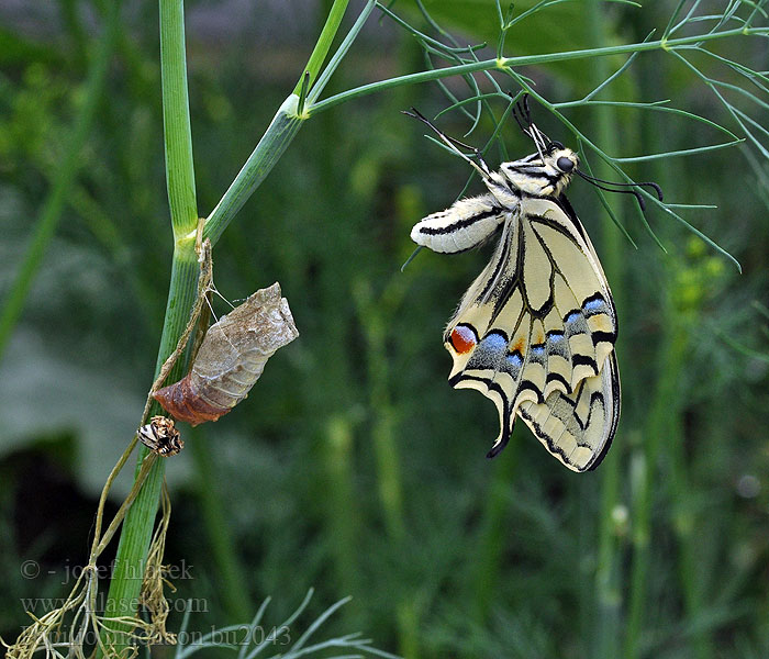 Papilio machaon 金凤蝶 Pääsusaba זנב סנונית נאה Macaone