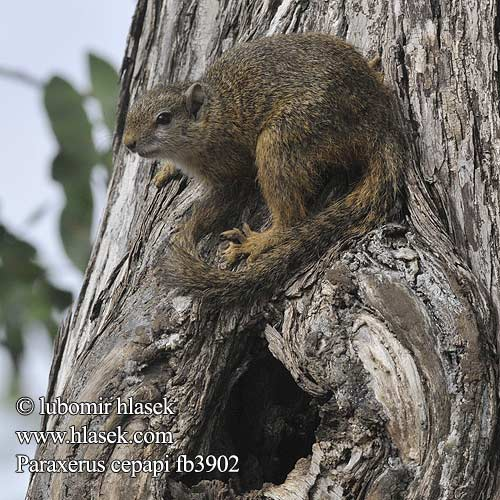 Paraxerus cepapi Smith's Bush Squirrel Yellow-footed Tree