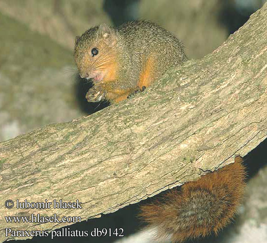 Roodstaart eekhoorn アカヤブリス Rotschwanzhörnchen Wiewiórka zaroślowa Рыжая белка Paraxerus palliatus Red Bush Squirrel Écureuil ventre rouge