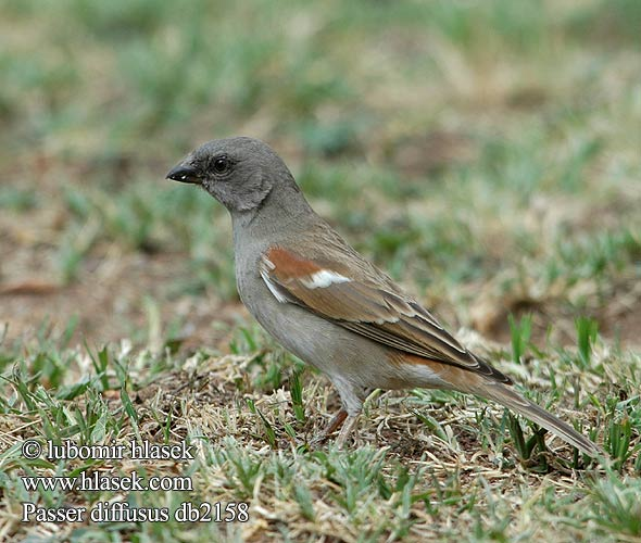 Southern Greyheaded grey-headed Sparrow Angolaspurv