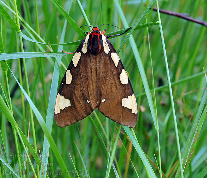 Large tiger moth Pericallia matronula