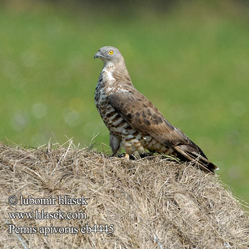 Pernis apivorus Honey Buzzard Wespenbussard
