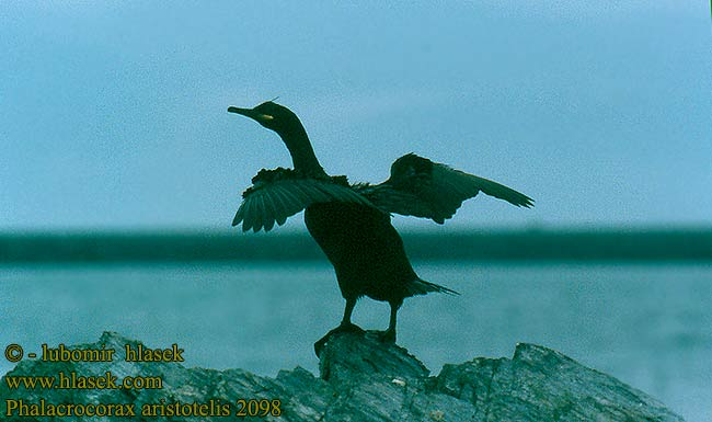 Phalacrocorax aristotelis 2098