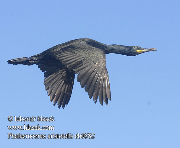 Phalacrocorax aristotelis eb0582