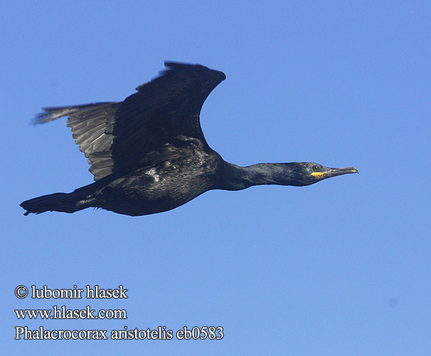 Phalacrocorax aristotelis eb0583