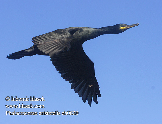 Phalacrocorax aristotelis eb0620