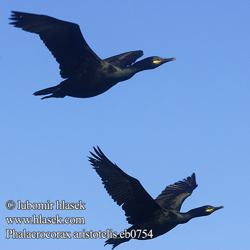 Phalacrocorax aristotelis eb0754