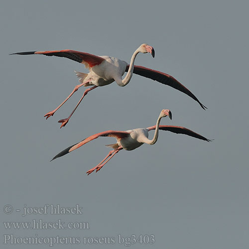 Greater Flamingo 大红鹳 Фламинго