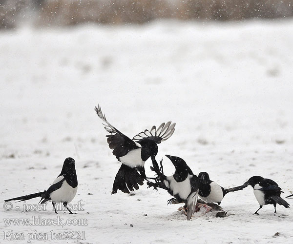 Magpie Black-billed Common Cabaire breac Magaide