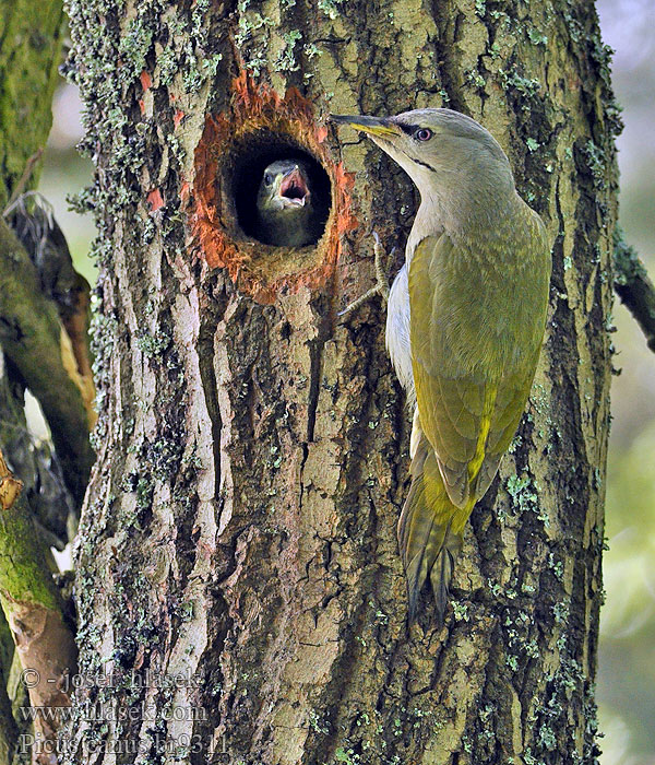 Grey-faced Woodpecker Picus canus